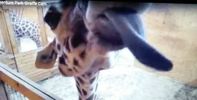 April the giraffe licking the camera