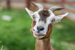 Goat with a silly smile