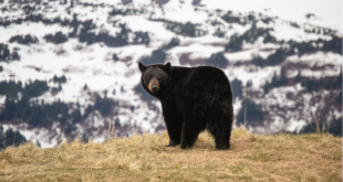 A Black Bear on a Hill with mountains in the background