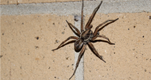 Wolf spider on a brick wall