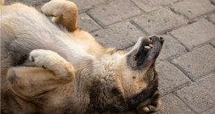 Stray dog sleeping on its back. Old dog lying on the street. Brown Dog playing dead. Aged steet dog with scary teeth.
